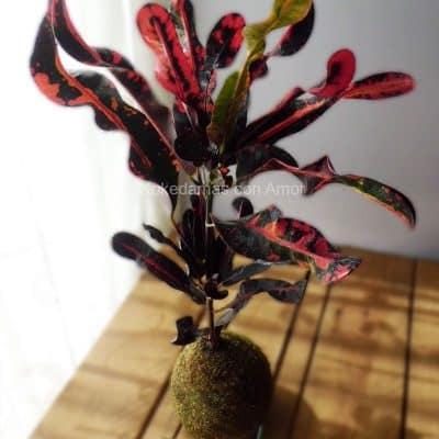 Kokedama Croton Mamey