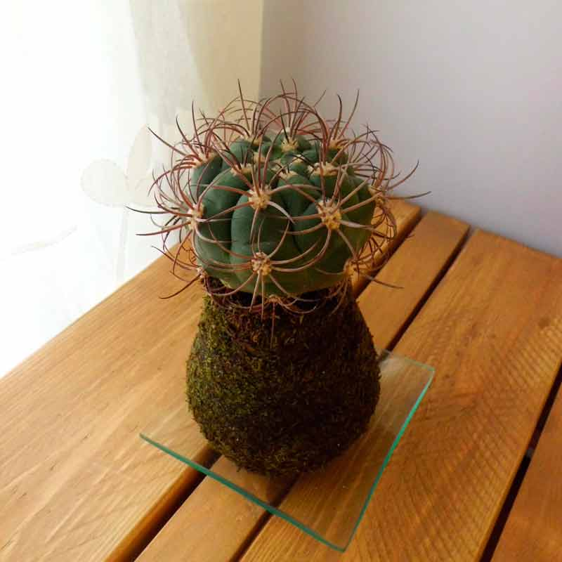 Cactus Cuerno de cabra